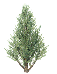 Juniper_Tree_1
