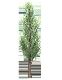 Juniper_Tree_2