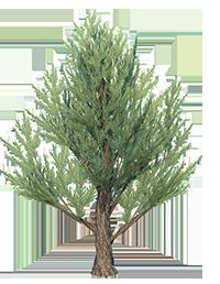 Juniper_Tree_3