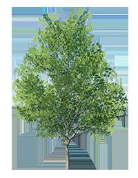 Maple_Tree_Green_1