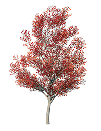 Maple_Tree_Red_2